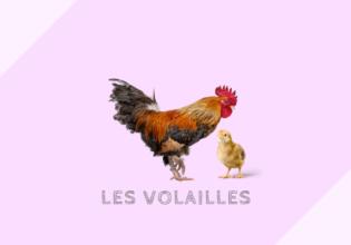 フランスの家禽類の分類と料理例[volailles]